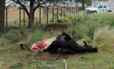 """Indignante: Faenaron a """"Porota"""" una vaca que era para investigación"""