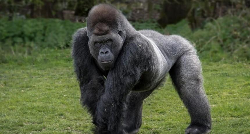 Gorilas dieron positivo de coronavirus