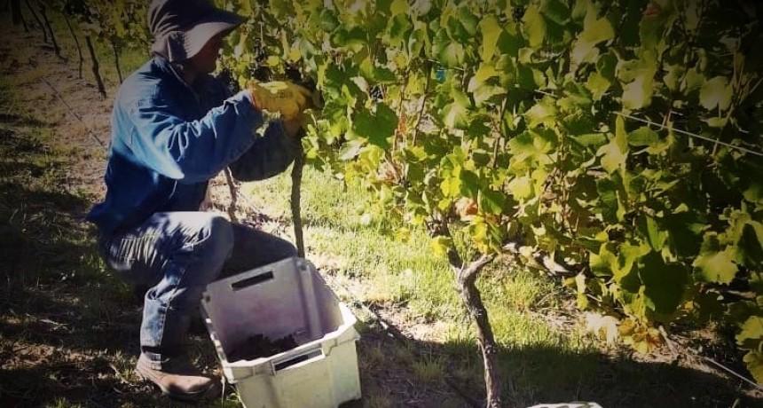 Arrancó la vendimia en la provincia de La Pampa