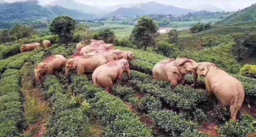 Como dijo la Mona Gimenez...Quieeennnnn se ha atomado todo el vino:  14 elefantes entran a un viñedo, toman vino y duermen la siesta en China en plena cuarentena