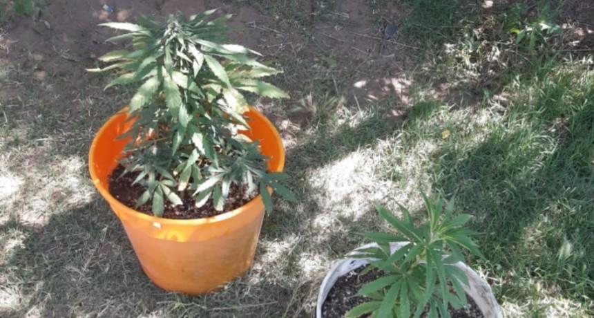 VICTORICA: SECUESTRAN 2 PLANTAS DE MARIHUANA