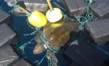 Una enorme tortuga entre 800 kilogramos de cocaína.
